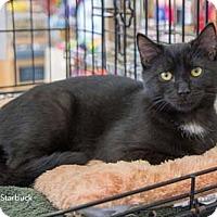 Adopt A Pet :: Starbuck - Merrifield, VA