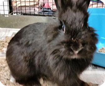 Lionhead Mix for adoption in Fairfax, Virginia - Tom Sawyer