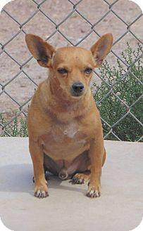 Chihuahua Mix Dog for adoption in Heber City, Utah - Chevo
