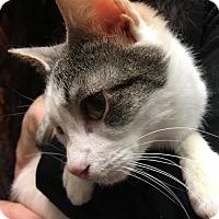 Calico Kitten for adoption in Flushing, New York - Sweet Pea