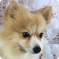 Adopt A Pet :: Halley - Dallas, TX
