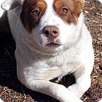 Adopt A Pet :: MAGGIE - Westminster, CO
