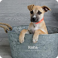 Adopt A Pet :: Risha - Denver, CO