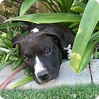 Adopt A Pet :: Wyatt - Newport Beach, CA