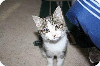 Domestic Shorthair Kitten for adoption in Kalispell, Montana - Hailley