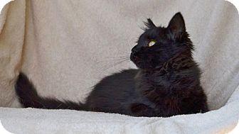 Maine Coon Kitten for adoption in Davis, California - Cinder Ella