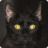 Domestic Shorthair Cat for adoption in Walden, New York - Tootsie