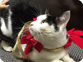 Domestic Shorthair Cat for adoption in Seabrook, New Hampshire - Gem