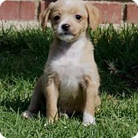 Adopt A Pet :: Skittles - La Habra Heights, CA