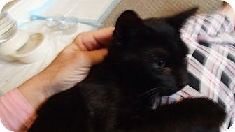 American Shorthair Cat for adoption in Ponchatoula, Louisiana - Aro