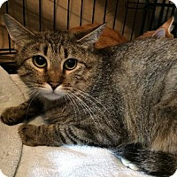 Domestic Shorthair Cat for adoption in Valley Park, Missouri - Honey
