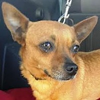 Chihuahua Mix Dog for adoption in San Diego, California - Rocko