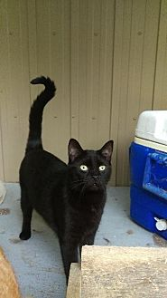 Domestic Shorthair Cat for adoption in Brainardsville, New York - Cocoa