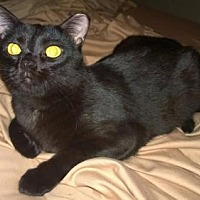 Domestic Shorthair Cat for adoption in Columbus, Ohio - Flynn