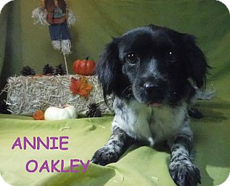 Australian Shepherd/Pekingese Mix Dog for adoption in Batesville, Arkansas - Annie Oakley