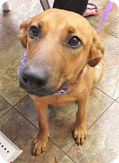 Shepherd (Unknown Type)/Golden Retriever Mix Dog for adoption in Saratoga Springs, New York - Stella ~ ADOPTED!