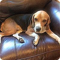 Adopt A Pet :: Kobe - Houston, TX