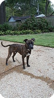 American Staffordshire Terrier/Pit Bull Terrier Mix Dog for adoption in Covington, Tennessee - Pinkie