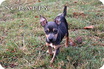 Miniature Pinscher/Chihuahua Mix Dog for adoption in Texarkana, Arkansas - Scrappy