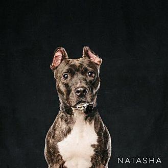 American Staffordshire Terrier/Boxer Mix Dog for adoption in Houston, Texas - Natasha