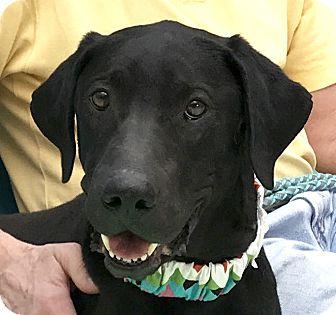 Labrador Retriever Mix Dog for adoption in Evansville, Indiana - Taylor
