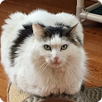 Domestic Longhair Cat for adoption in Greensburg, Pennsylvania - Fluff