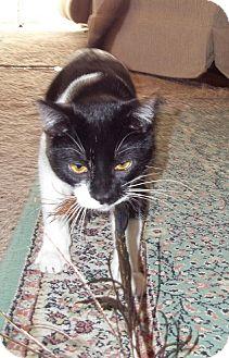 Domestic Shorthair Cat for adoption in Rochester Hills, Michigan - Jelli Bean