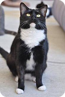 Domestic Shorthair Cat for adoption in Cocoa, Florida - Missy (Merritt Island Center)