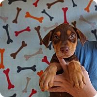 Adopt A Pet :: Gonzo - Oviedo, FL