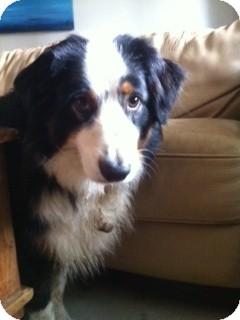 Australian Shepherd Mix Dog for adoption in Bellingham, Washington - Fletcher