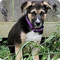 Adopt A Pet :: Sherman