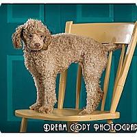 Adopt A Pet :: Ivory - Owensboro, KY