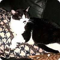 Adopt A Pet :: Buddy-Tuxedo - Laguna Woods, CA