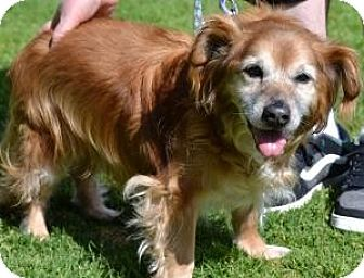 Golden Retriever/Cocker Spaniel Mix Dog for adoption in Simi Valley, California - Scooter