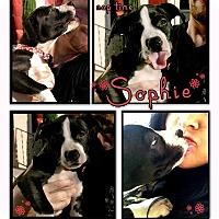 Adopt A Pet :: Sophie - La Habra, CA