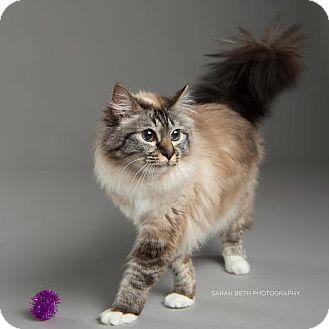 Birman Cat for adoption in Eagan, Minnesota - Delaney