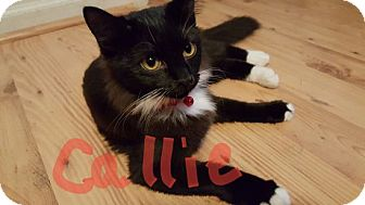 Domestic Mediumhair Kitten for adoption in Pineville, North Carolina - Callie