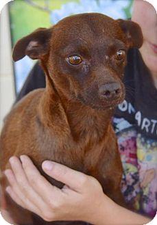 Dachshund Mix Dog for adoption in Midland, Texas - Godiva