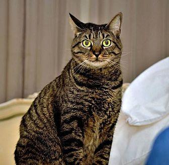 Domestic Shorthair Cat for adoption in Thibodaux, Louisiana - Tabby FE2-8876