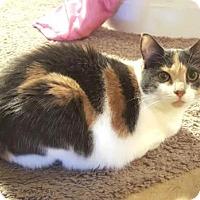Adopt A Pet :: Catniss - Dallas, TX