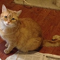 Domestic Shorthair Cat for adoption in Herndon, Virginia - Sonja