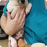Adopt A Pet :: URGENT-Toby - Burbank, CA