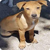 Adopt A Pet :: A431326 - San Antonio, TX