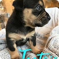 Adopt A Pet :: Tootsie - San Antonio, TX