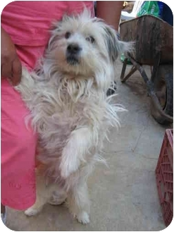 Maltese/Shih Tzu Mix Dog for adoption in Albuquerque, New Mexico - Pelsua (Fluffy)