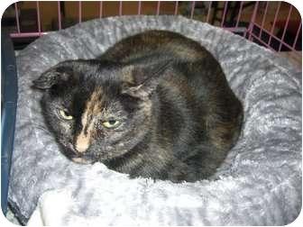 Domestic Shorthair Cat for adoption in Chesapeake, Virginia - Sweetie