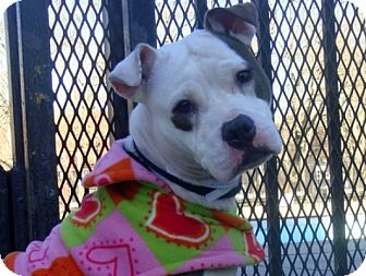 American Staffordshire Terrier/Boxer Mix Dog for adoption in Long Beach, New York - Michelle