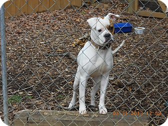 Boxer/Bulldog Mix Dog for adoption in Charlotte, North Carolina - Sassy