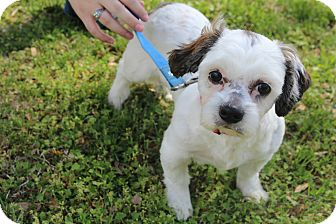 Shih Tzu Puppy for adoption in Bedminster, New Jersey - Bolt