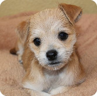 Beagle/Jack Russell Terrier Mix Puppy for adoption in La Habra Heights, California - Aggie
